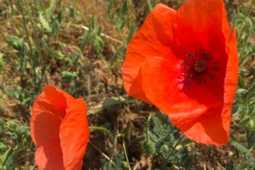 Poppy flowers in the Hungarian countryside