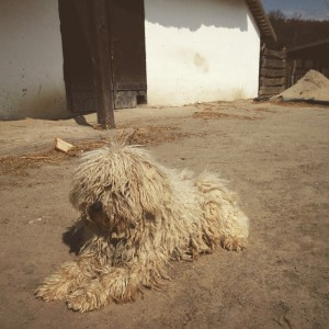 The puli dog at the Szentendre Open Air Museum