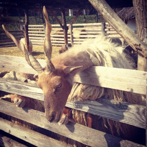 Racka sheep at the Szentendre Open Air Museum
