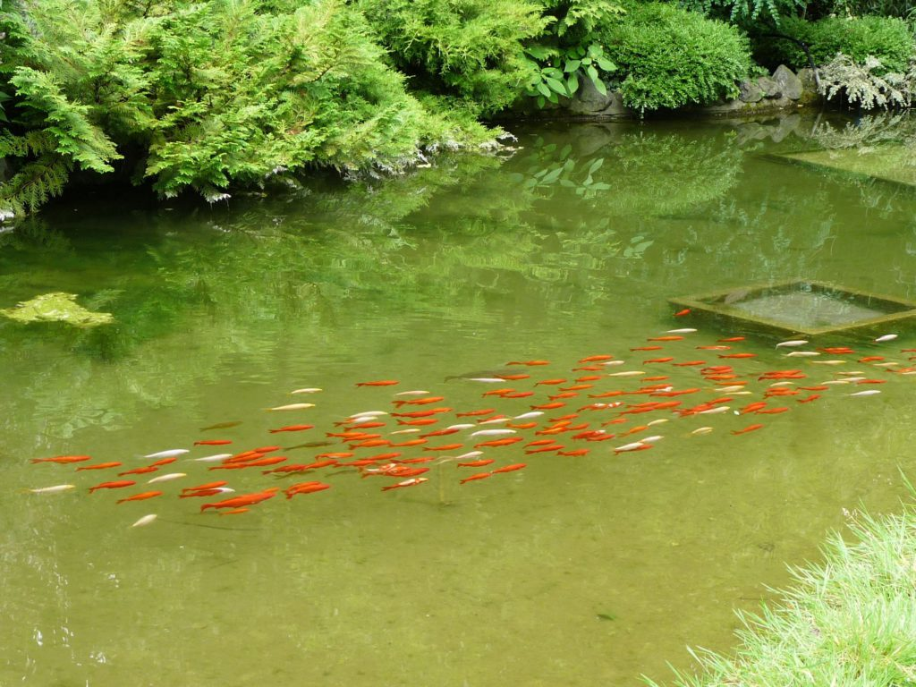 Koi fish at the Botanical Garden