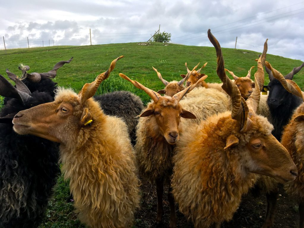 Racka sheep is a special Hungarian breed with long hair and spiral horns
