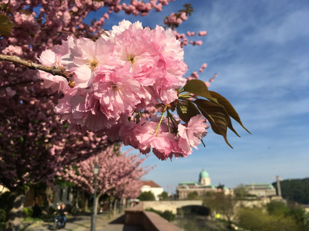 Pink flowers in the Buda castle